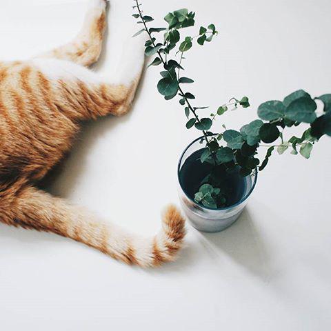 貓與尤加利葉